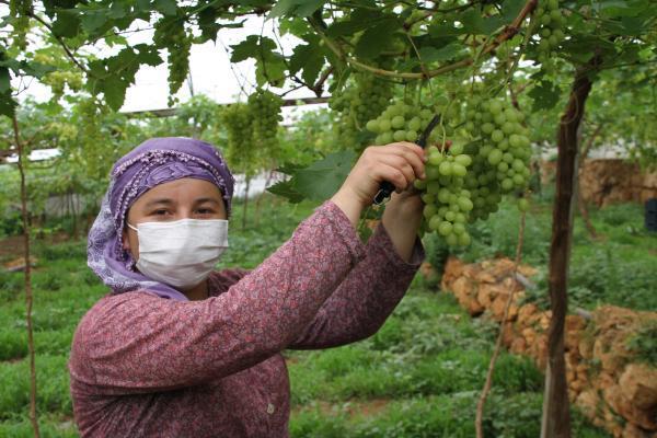 Yılın ilk erkenci üzümleri tarlada kilosu 50 TL'den satıldı